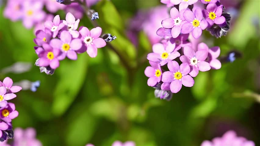 Forget me not pink flowers in spring stock footage video 100 browse video categories mightylinksfo