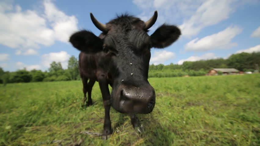 Qurious Cow in the Meadow HD