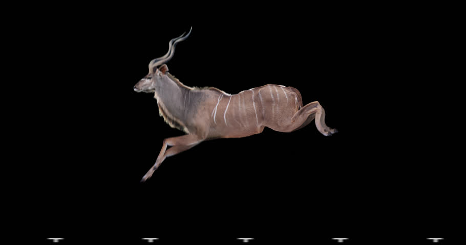 Kudu antelope jumps. Two variations: with horns (male) and without horns (female). Isolated cyclic animation. Can also use as a silhouette.