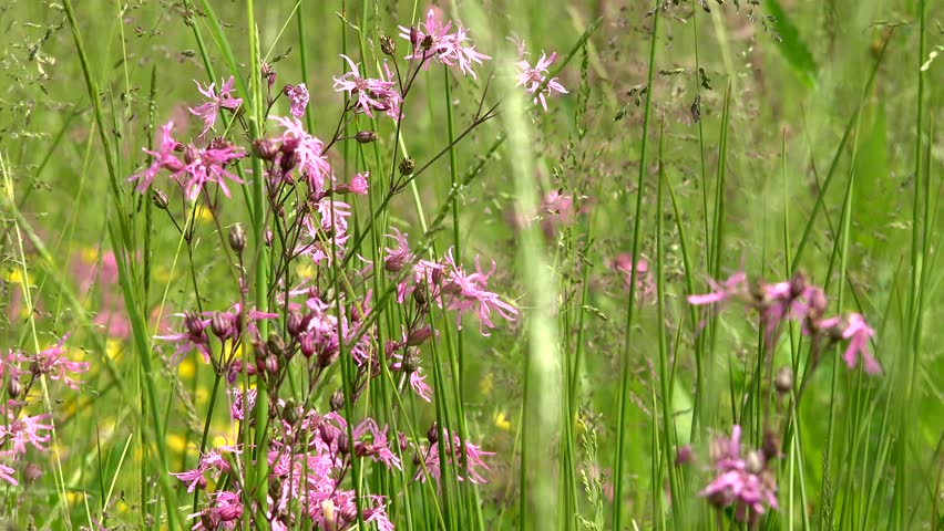 Meadow tall grass and pink stock footage video 100 royalty free meadow tall grass and pink stock footage video 100 royalty free 10660172 shutterstock mightylinksfo