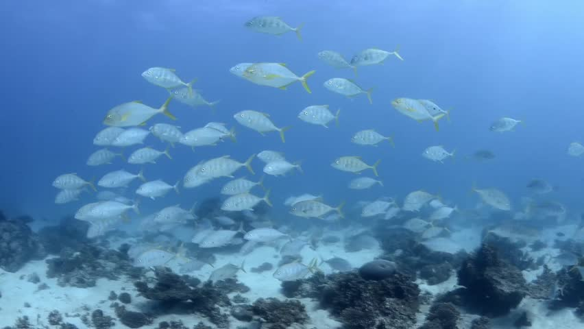 Juvenile adult golden trevally schooling in beautiful clear water | Shutterstock HD Video #10675712