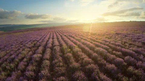 Aerial nature video. Flight over lavender meadow. Agriculture industry scene. Nature scene composition.