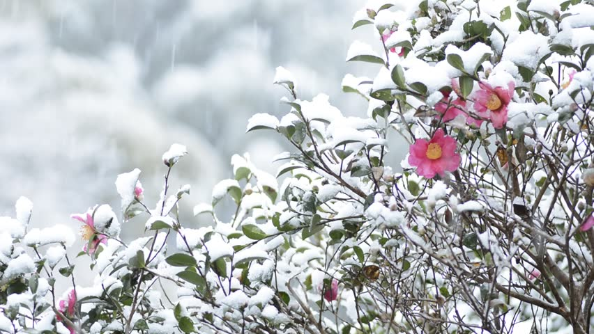Stock Video Of Snow Pouring Down And Pink Camellia