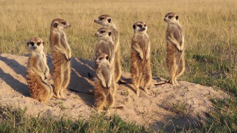 Meerkat family sunning themselves in the early morning sunshine,Botswana