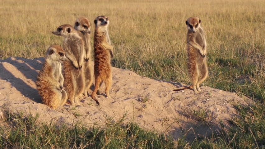 Meerkat family sunning themselves in the early morning sunshine,Botswana | Shutterstock HD Video #10772534