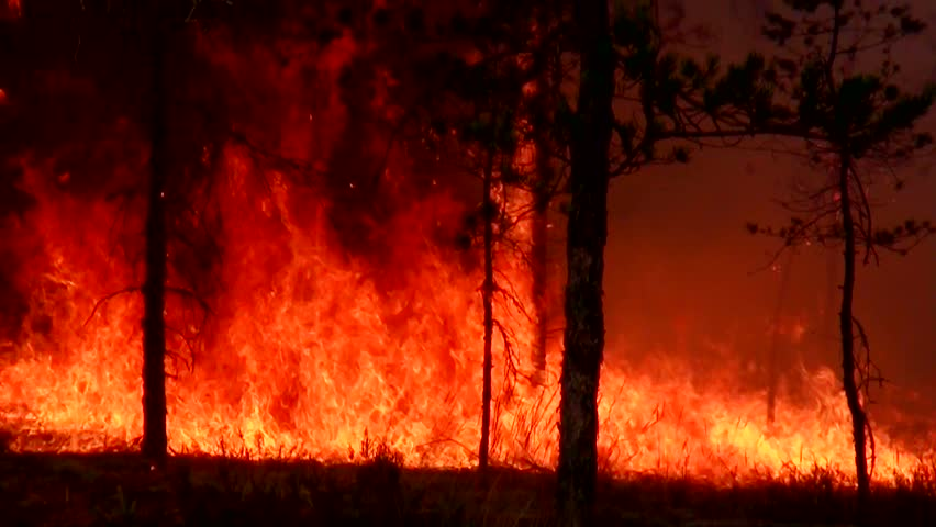 Fire forest. Storming and raging big fire in the forest. Wildfire in the forest is burning moss. Ecological disaster. Fire spreads and burns the ground. Wind strengthens fire. A fierce flame. | Shutterstock HD Video #10787780