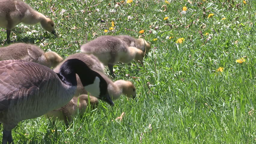 Waterloo, Ontario, Canada - May 2015 Canada geese with baby goslings in a park in the spring after nesting season.