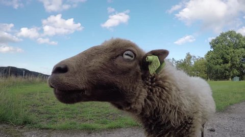 Small cute young brown not that long ago shaved sheep smelling camera and curious and then backing away green grass field and blue sky some cloud and 4k high resolution camera funny head of sheep