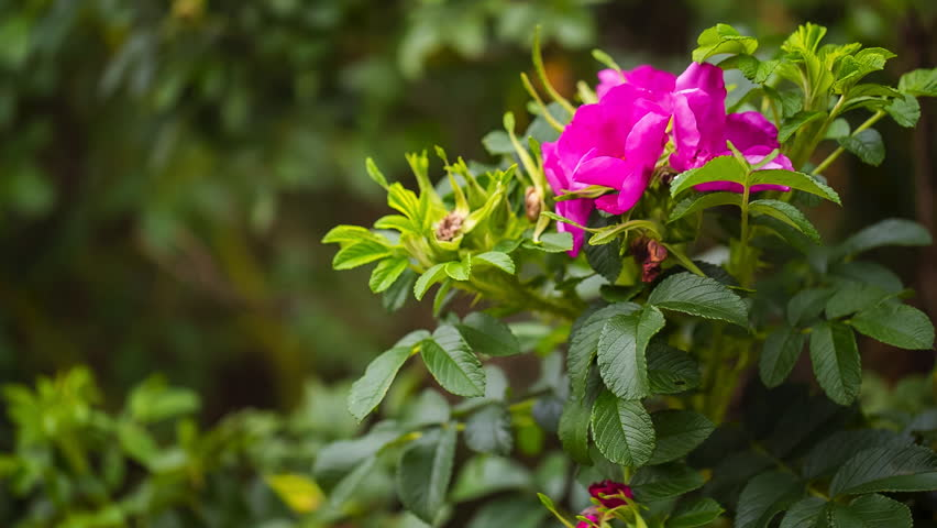 Flowers of wild rose growing in forest