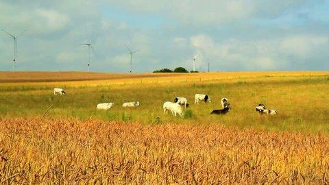 Ripe wheat (spelt) in anticipation of the harvest (Cobru, Belgium).