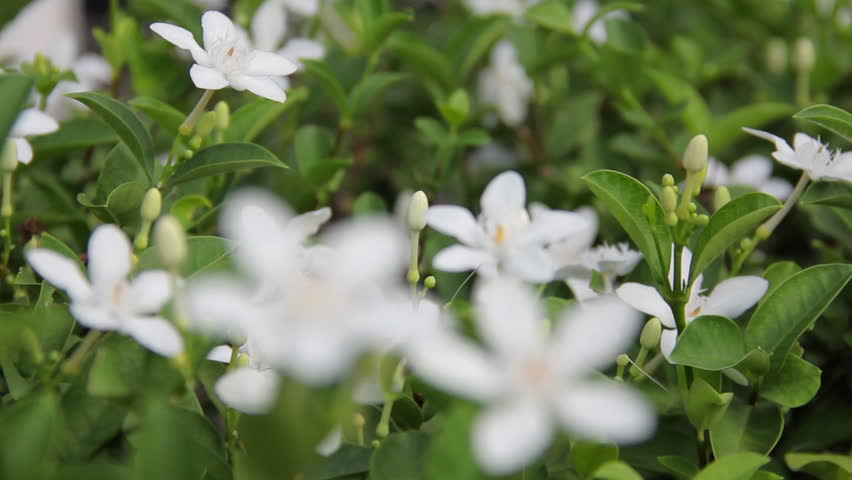 Stock video of gerdenia crape jasmine is white flower 11059502 stock video of gerdenia crape jasmine is white flower 11059502 shutterstock mightylinksfo