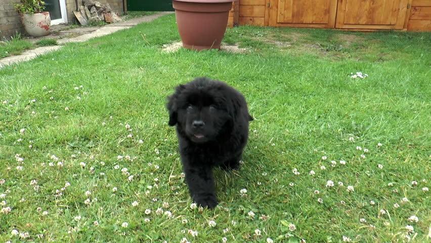 jolie-newfoundland-puppy-peeing-videos