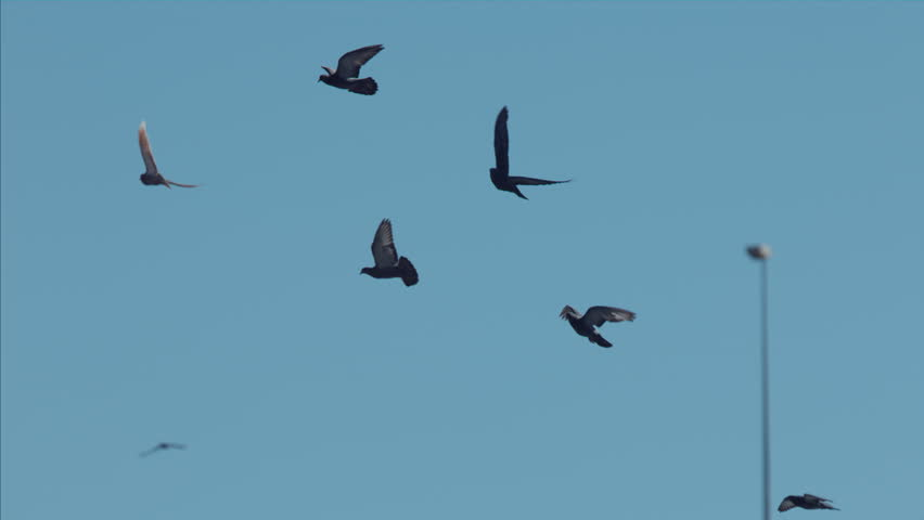 Slow motion group of pigeons flying in blue sky, Albi, France 2014