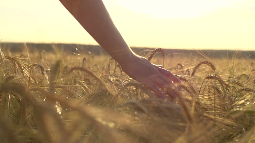a young woman's hand running through wheat field. Girl's hand touching wheat ears close up.The time of sunset .The harvest concept. The harvesting. Slow-motion video at 240 frames per second. #11097332