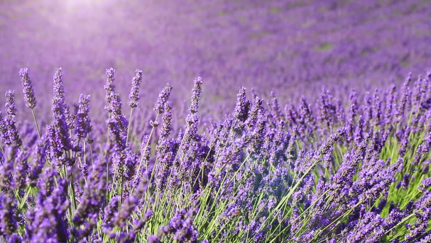 Fields of blooming lavender flowers - Provence, France (dolly shot) | Shutterstock HD Video #11137778