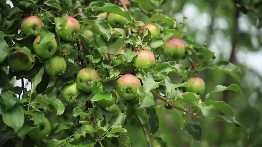 RUSSIA – JULY 25, 2015 : apple on the apple tree branch | Shutterstock HD Video #11166818