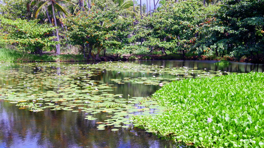 off to the side of punaluu black sand beach is a beautiful pond covered - Bamboo Garden 2016