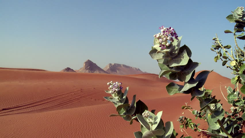 A static image showing a purple crown flower plant moving in the wind with orange sand dunes and a large rock formation in the background in a desert in the United Arab Emirates