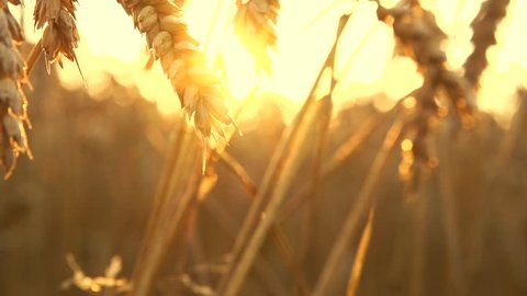 Wheat field in sunset. Ears of wheat close up. Harvest and harvesting concept. Field of golden wheat swaying. Nature landscape. Peaceful scene. Slow motion 240 fps, HD 1080p. High speed camera