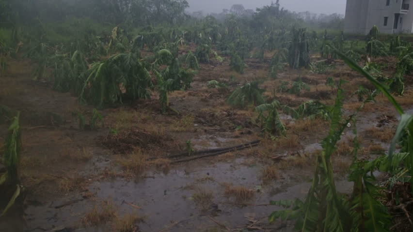 Banana trees destroyed by typhoon slow motion- | Shutterstock HD Video #11237402