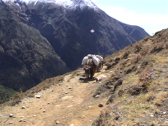 Load bearing yaks being led by their owner aloing the mountain trail towards Everest base camp, Nepal.