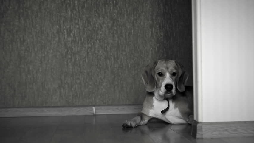 Black and white footage of a dog lying on the floor at home while camera slides #11367902