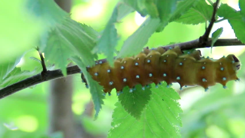 Saturnia pyri catterpillar