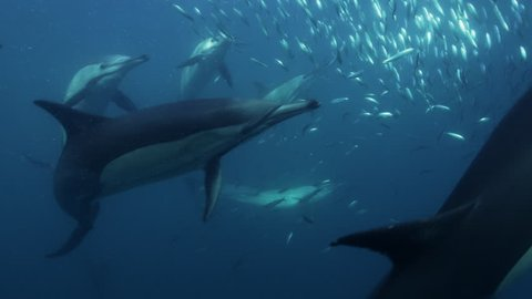 UW school of dolphins chases school of sardines, slow motion, South Africa, 2012