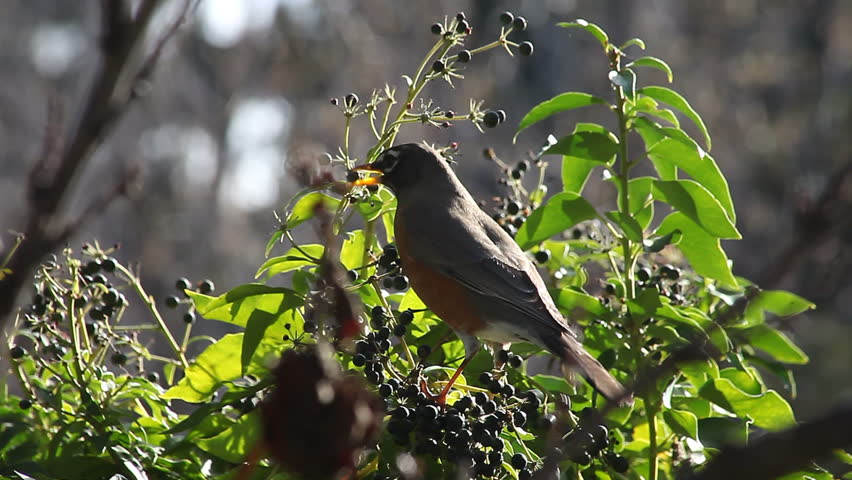 a robin feeds on abundant ivy berries
