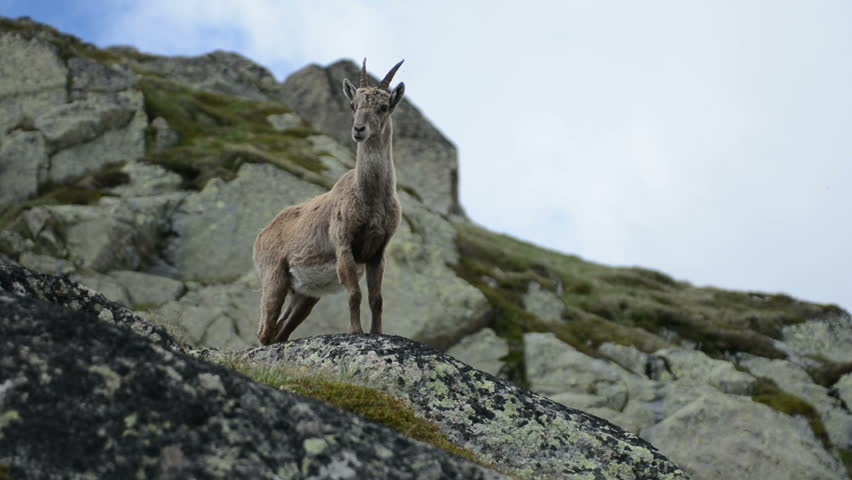 Female mountain goat prophile Chamonix