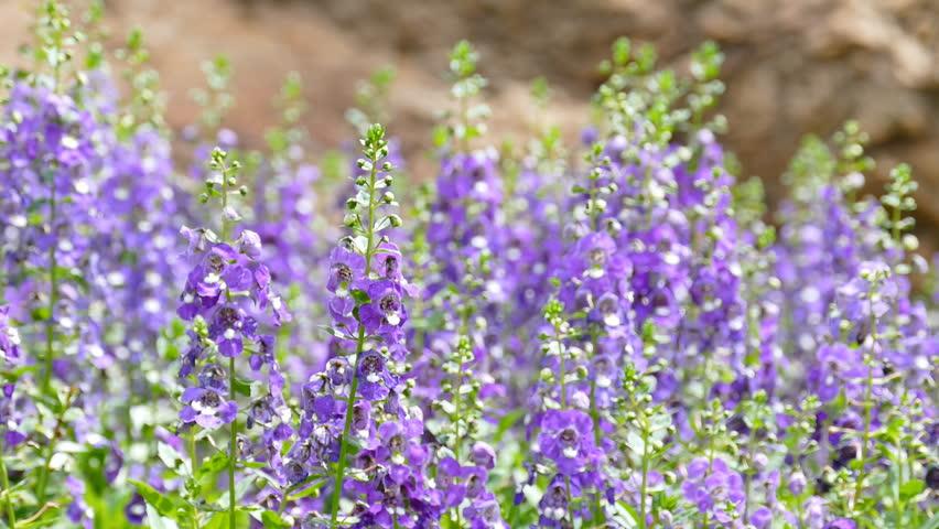 Forget me not flowers in field  | Shutterstock HD Video #11510852