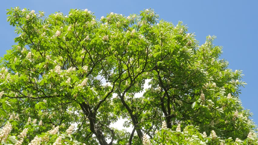 Chestnut Tree Crown Blooming Chestnut Swaying Tree Upper Part