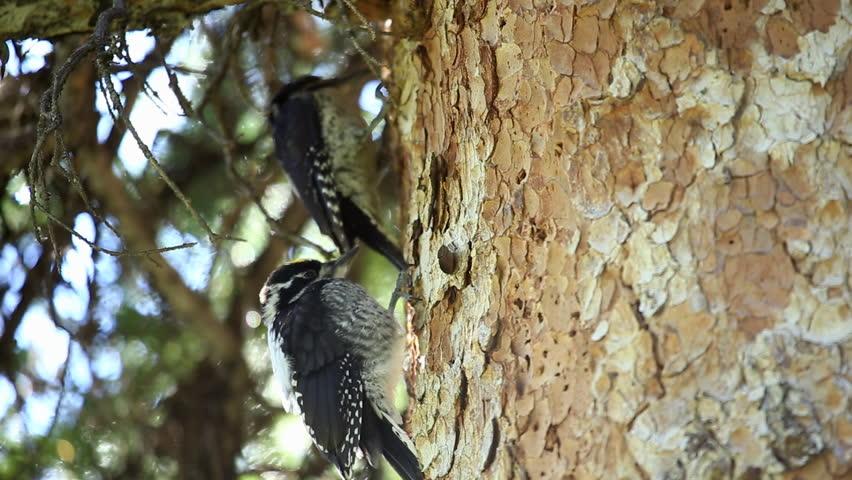 Header of American Three-Toed Woodpecker