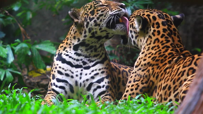 Jaguar and lived in Central America and South America  | Shutterstock HD Video #11586941