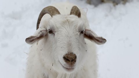 close up of Kashmir goat in snow