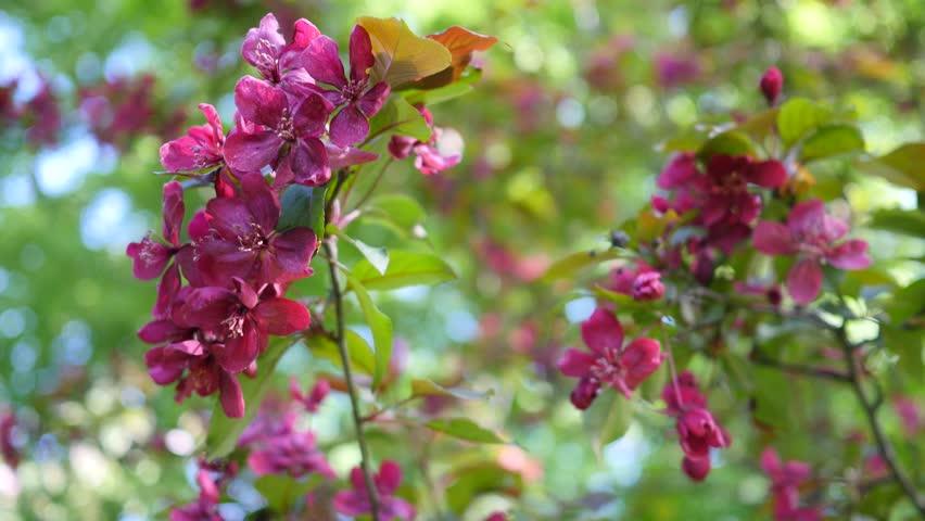 Maroon burgundy flowers on green stock footage video 100 royalty maroon burgundy flowers on green bush close view the wind rustles green leafes blue clear sky sunlight sunny summer day outdoors kiev ukraine mightylinksfo