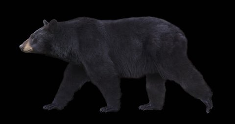 Isolated American black bear cyclical walking. Can be used in real coloring, and as a silhouette.