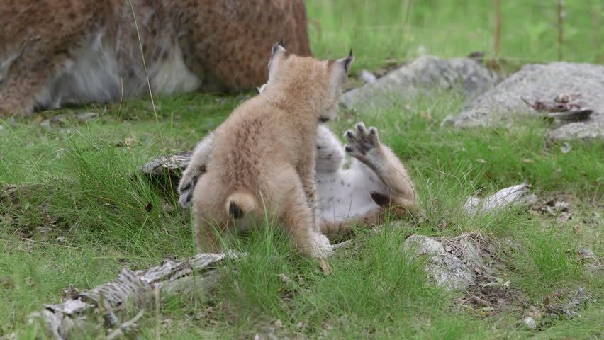 Lynx cubs playing in front of lynx mother