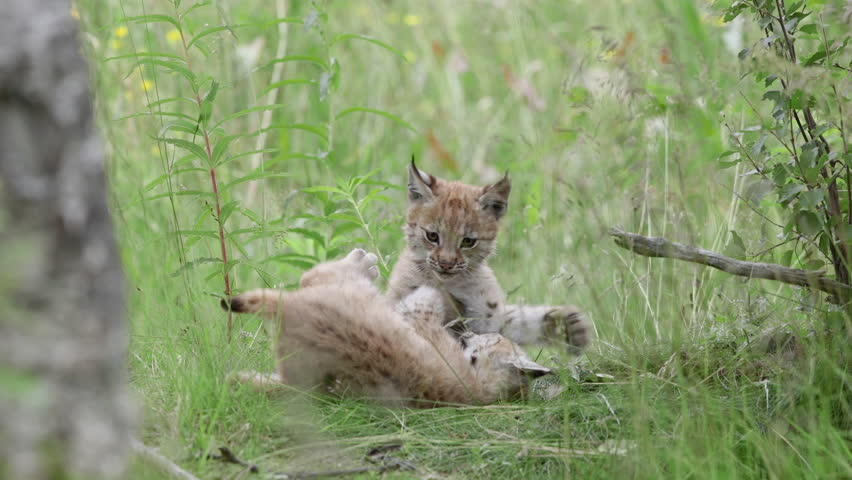 Lynx cubs playing in grass field