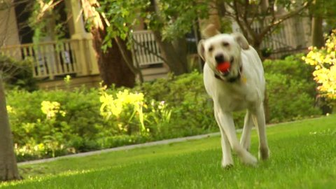 Dog running towards camera. Labrador breed dog running to camera
