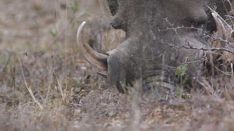 Warthog Using Nose to Dig in Africa shot in HD Super Slow Motion