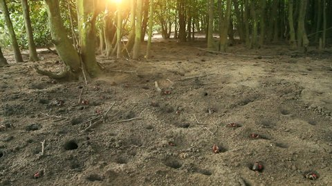 Wide-shot of red mangrove crabs emerging from their burrows in the sand at sunset, a yellow leaf falls from the mangrove tree. Crab steals the leaf, disappears into it\xCDs burrow.