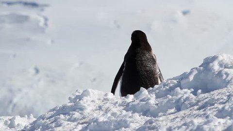 Penguin in Antarctica  Single Gentoo penguin in the snow of Antarctica