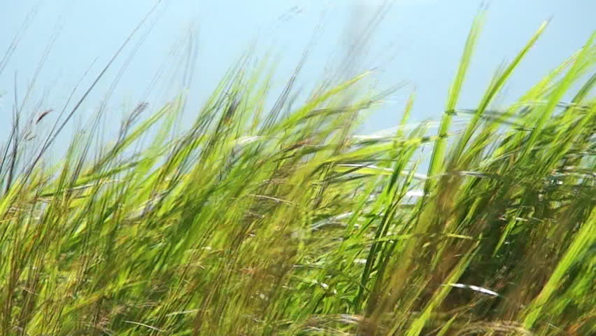 Tall Green Grass Moving In The Wind, Philippines