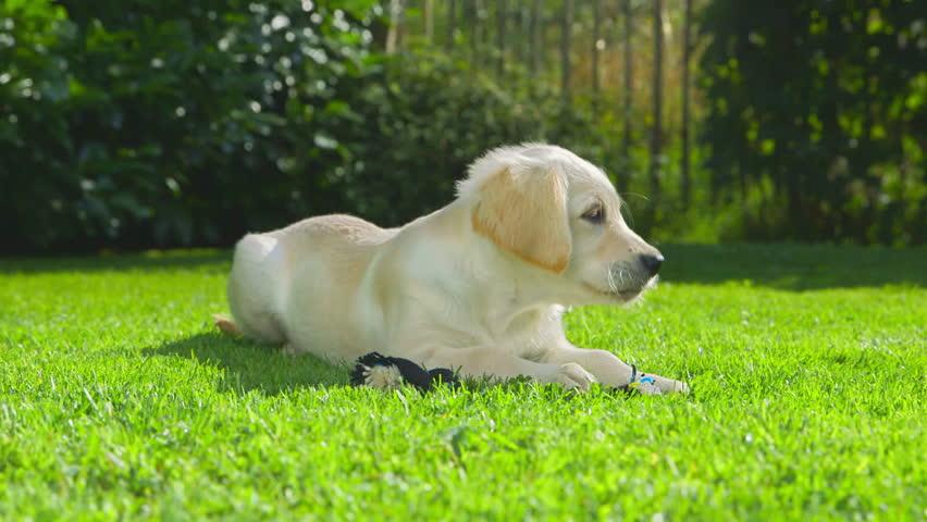 Cute Golden Retriever Puppy in the Garden  #11857322