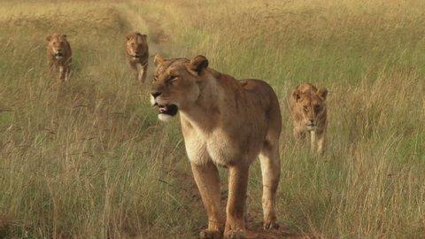 lion pride following a bush road.