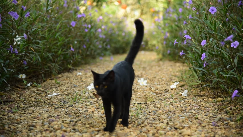 Cute black cat walk on brown pebble gravel in garden among flower bush | Shutterstock HD Video #11879252