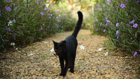 cute black cat walk on brown pebble gravel in garden among flower bush