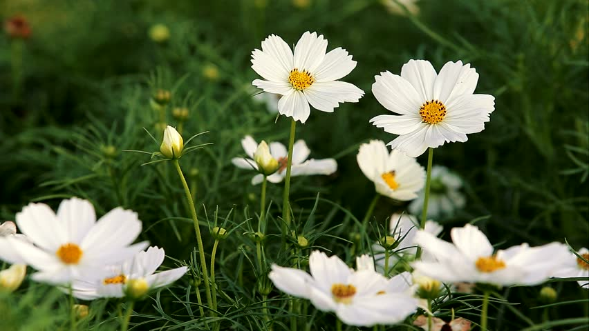 Video Stock A Tema White Cosmos Flowers In Garden 100 Royalty Free