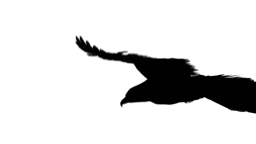 flying eagle in black isolated on white background
